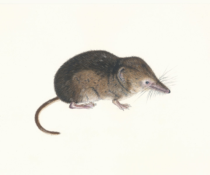 720x601 Arctic Shrew Facts, History, Useful Information And Amazing Pictures