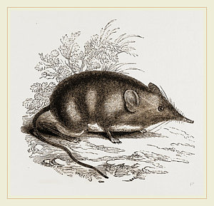300x289 Cape Elephant Shrew Drawing By Litz Collection