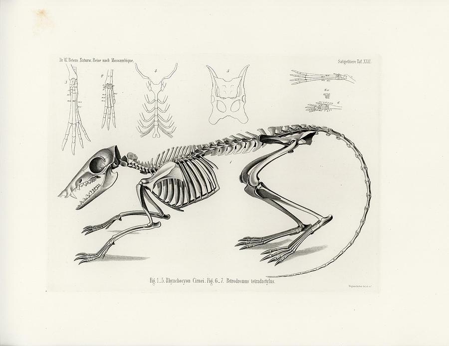 900x695 Checkered Elephant Shrew Skeleton Drawing By W Wagenschreiber