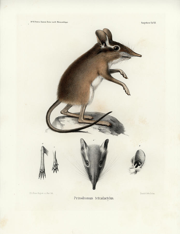 695x900 Four Toed Elephant Shrew Drawing By J D L Franz Wagner