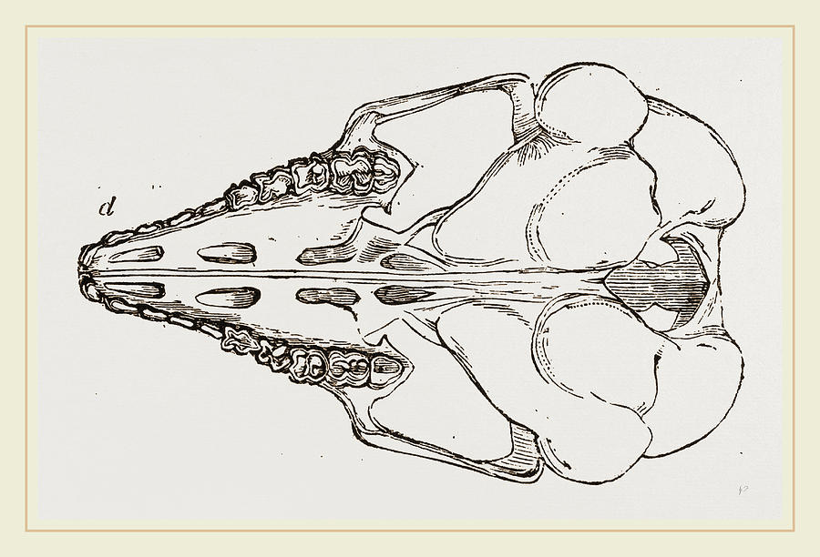 900x612 Skull Of Cape Elephant Shrew Drawing By Litz Collection