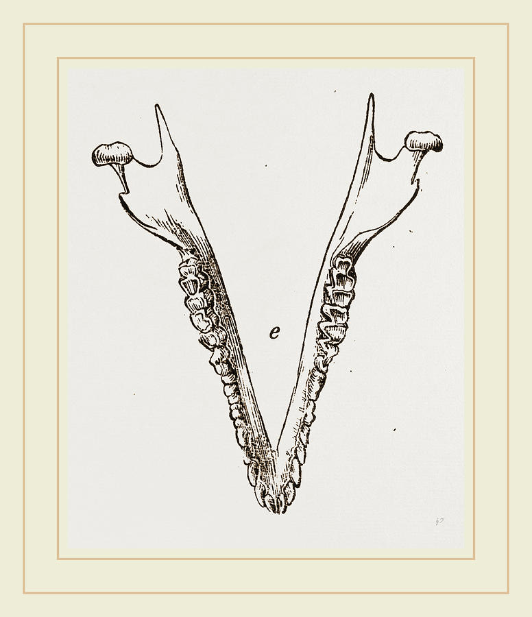 776x900 Teeth Of Cape Elephant Shrew Drawing By Litz Collection