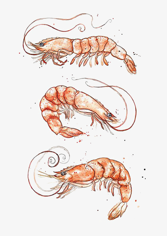 564x798 Drawing Prawn, Shrimp, Shrimp Tail, Seafood Png Image And Clipart