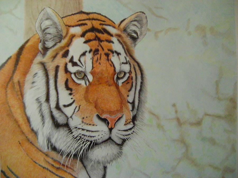 900x675 Amur Tiger, Siberian Tiger Drawing By Oleg Kozelsky