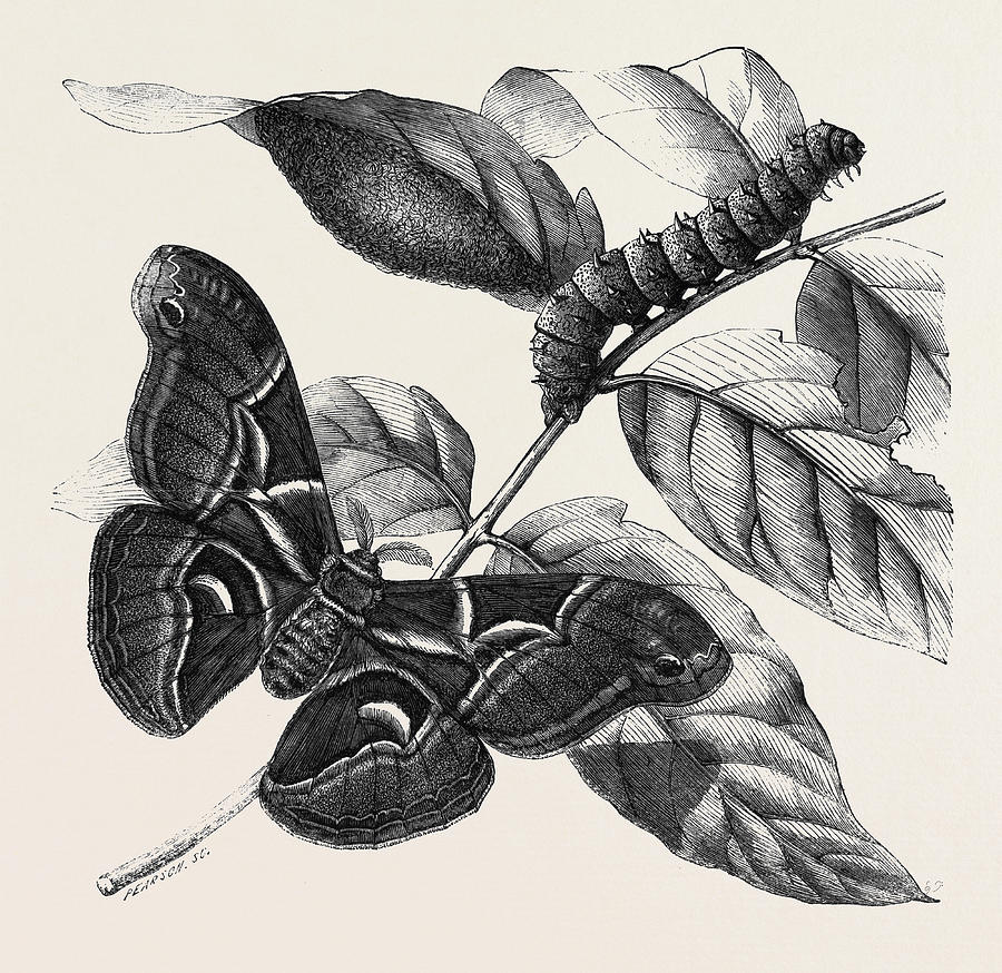 Silkworm Drawing at GetDrawings.com | Free for personal use Silkworm ...