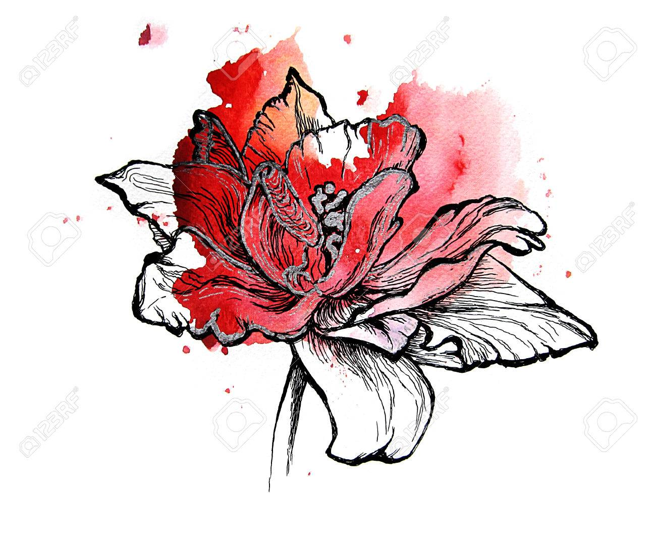 1300x1061 Red Tulip, Handmade Black And Silver Drawing On A Watercolor