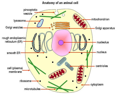 Simple Animal Cell Drawing At Getdrawings Free For Personal