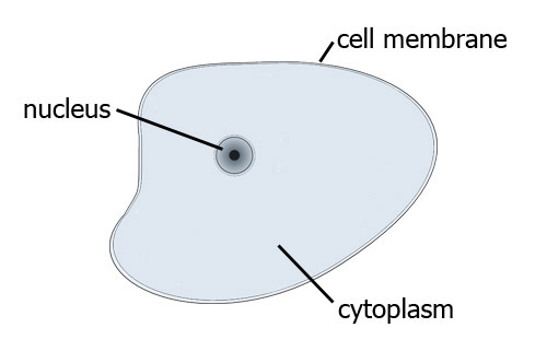 Simple animal cell drawing at getdrawings free for personal 500x321 animal cells ccuart Image collections