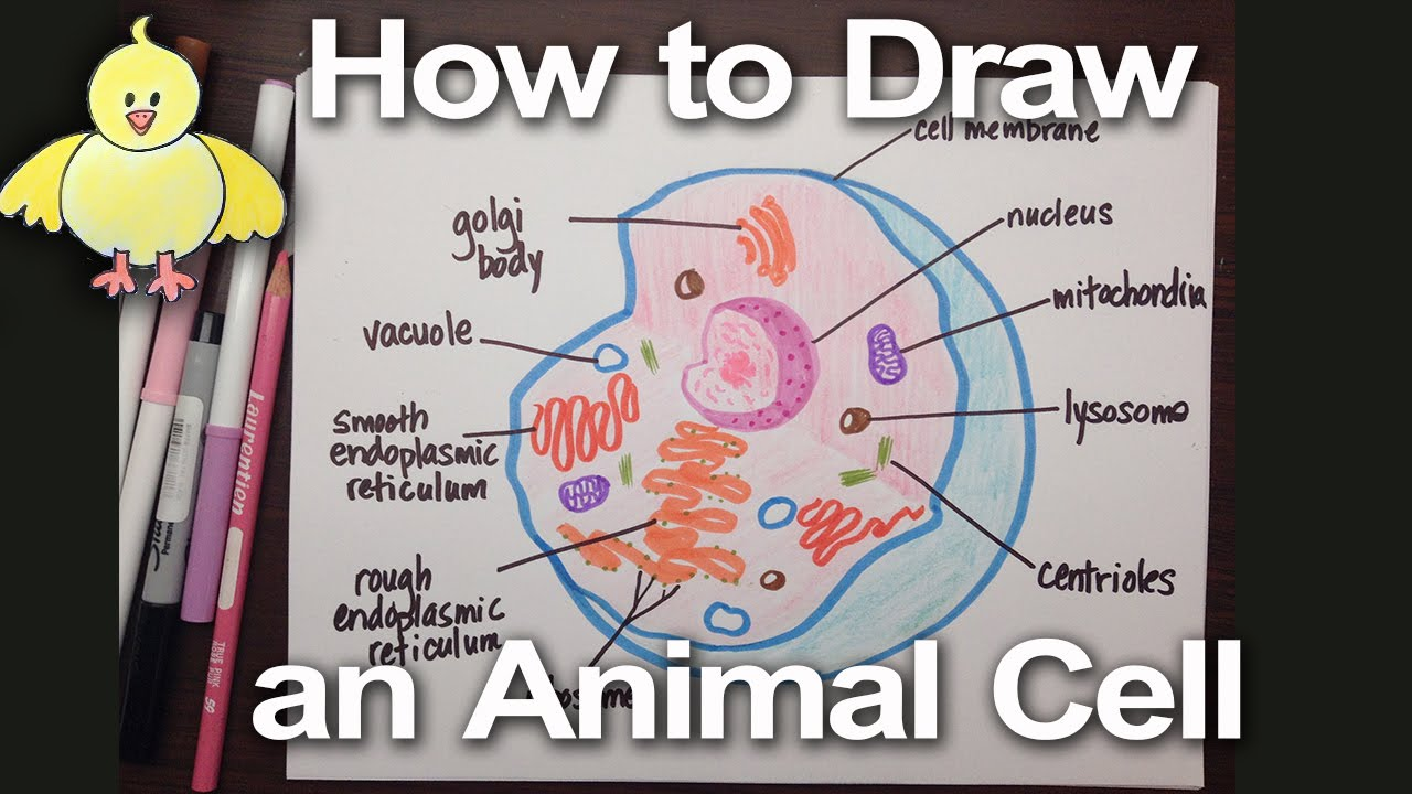 1280x720 How To Draw An Animal Cell Diagram Homework Help Doodledrawart