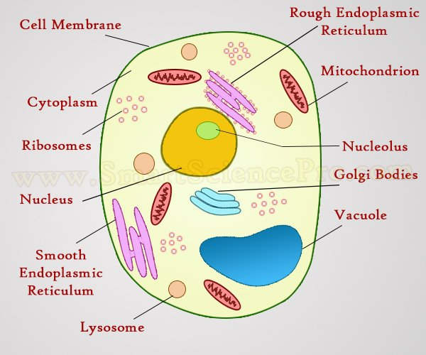 600x500 Structure Of Animal Cell And Plant Cell Under Microscope + Diagrams