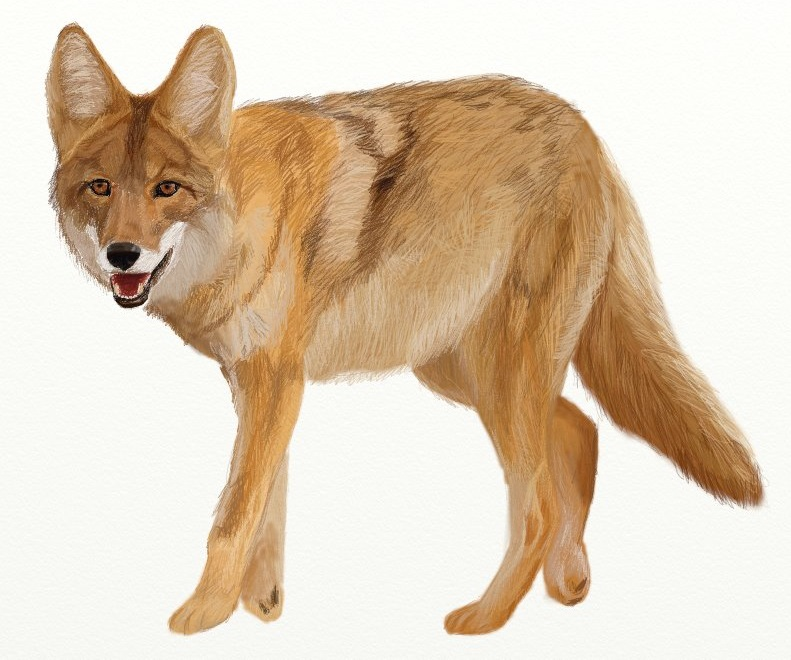 791x660 How To Draw Coyote, Prairie Wolf