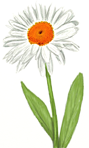 300x494 How To Draw A Daisy