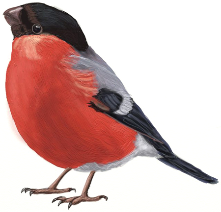 450x433 How To Draw Birds