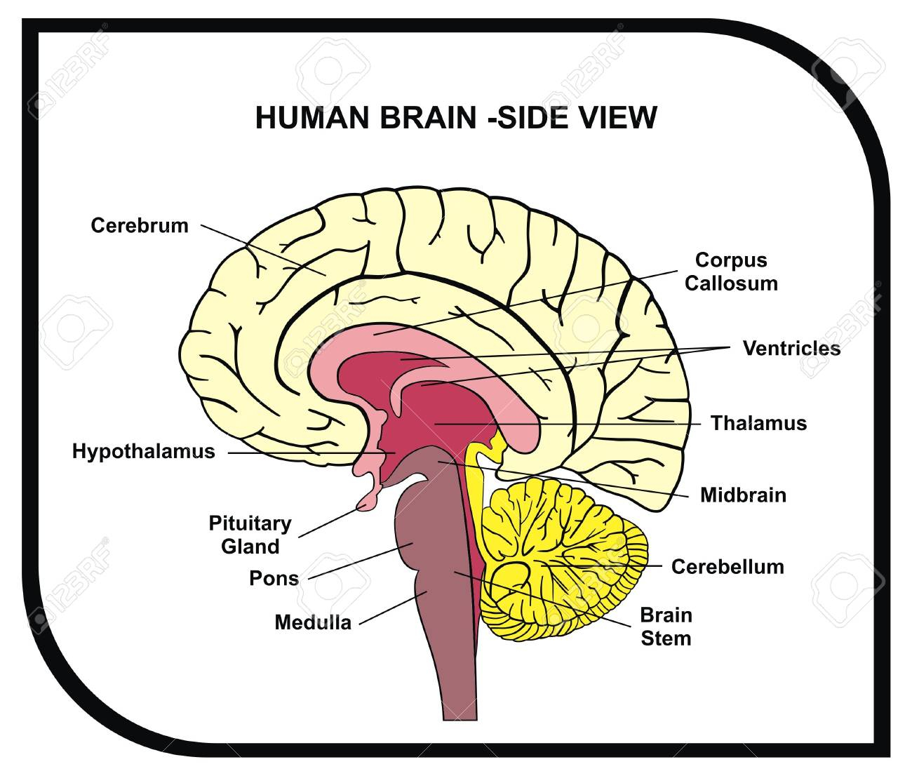 simple drawing of brain at getdrawings com free for personal use rh getdrawings com easy brain diagram class 10 easy way to draw brain diagram