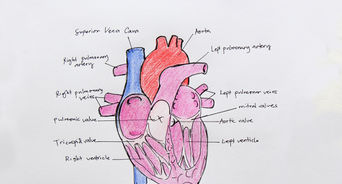 342x184 How To Draw A Human Heart 5 Steps (With Pictures)