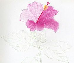 250x215 Simple Drawings Of Hibiscus Flowers ~ Mulberry Sketch,art