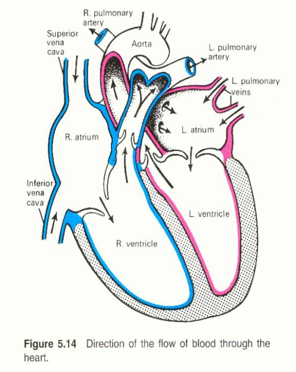 Simple human heart drawing at getdrawings free for personal 1024x1285 simple human heart diagram drawing human heart sketch diagram ccuart Choice Image
