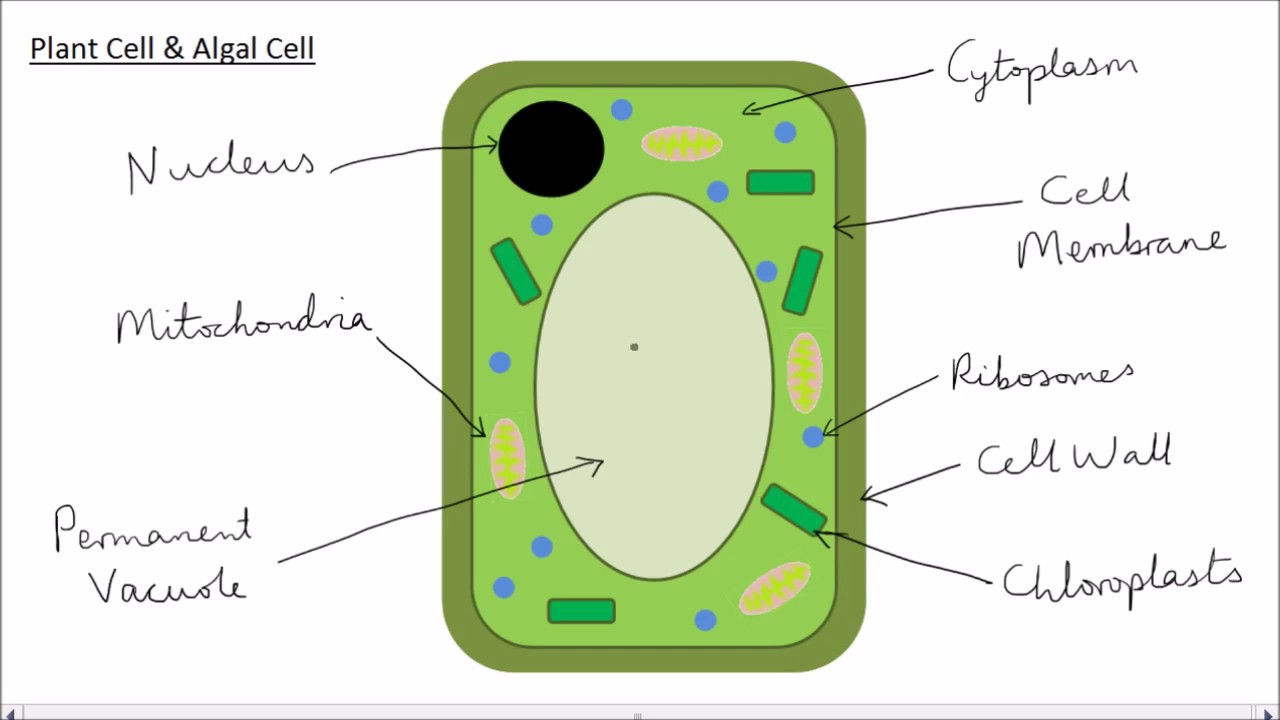 Simple Plant Cell Drawing at GetDrawings.com | Free for personal use ...
