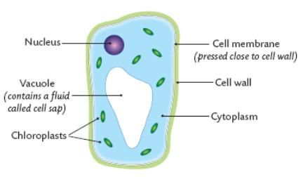 simple plant cell drawing at getdrawings com free for personal use rh getdrawings com simple plant cell diagram without labels simple plant cell wall diagram