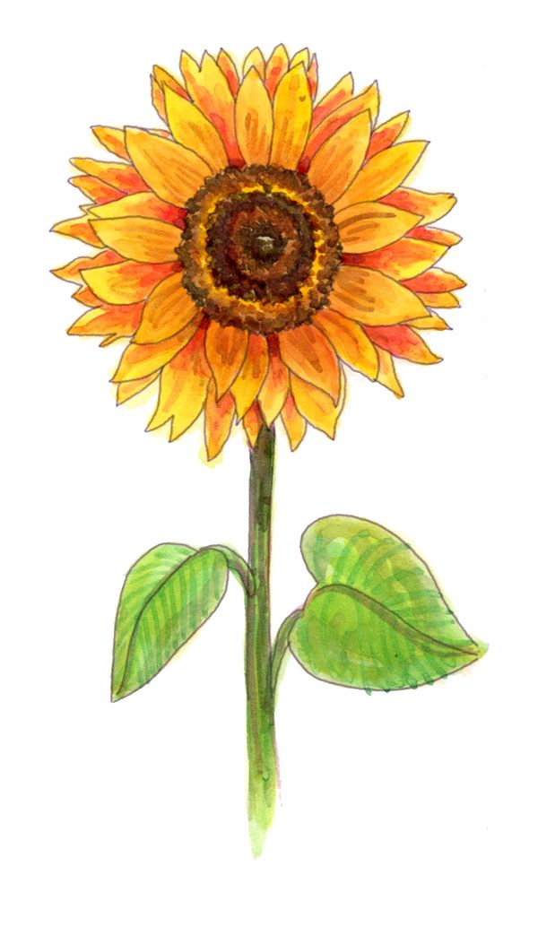 600x1034 Drawing A Sunflower Crescents, Sunflowers And Asia