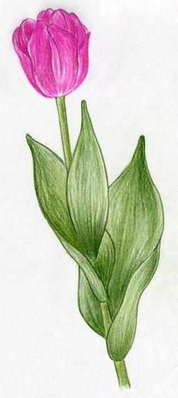 250x557 Draw Tulip Flowers In Few Easy Steps. How To Draw Flowers