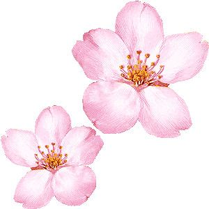 300x300 Cherry Blossom Working Search Cherry Blossoms