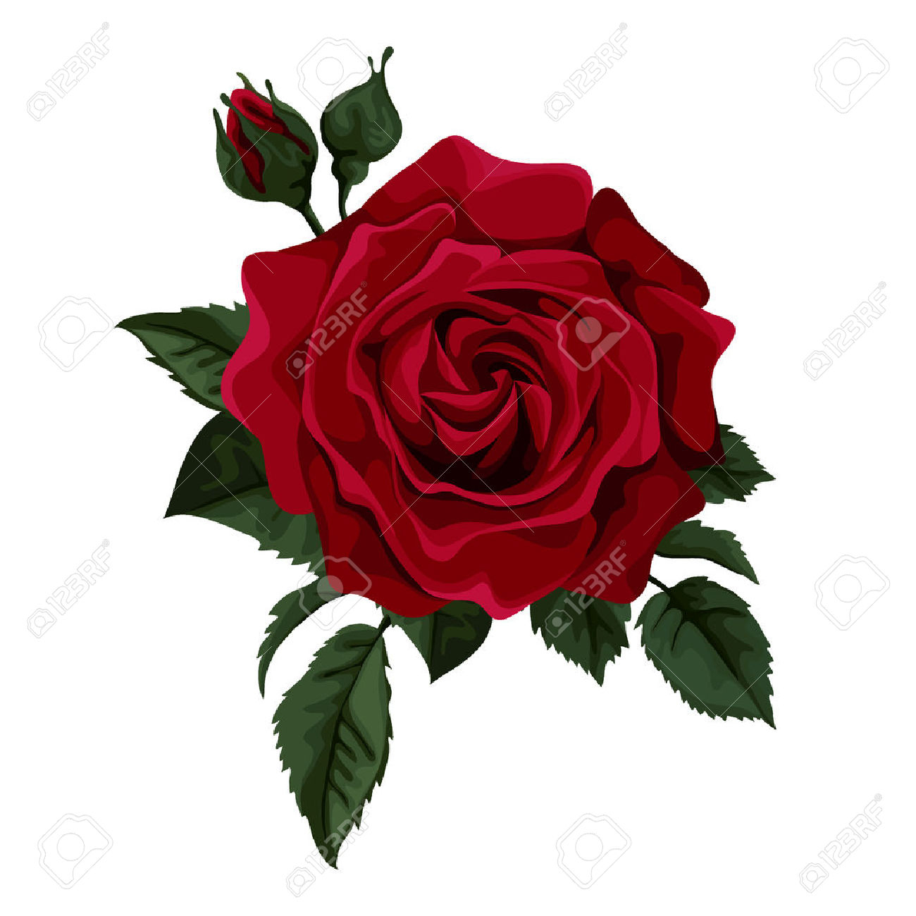 1300x1300 Single Red Rose Drawing Single White Rose Stock Photos Images