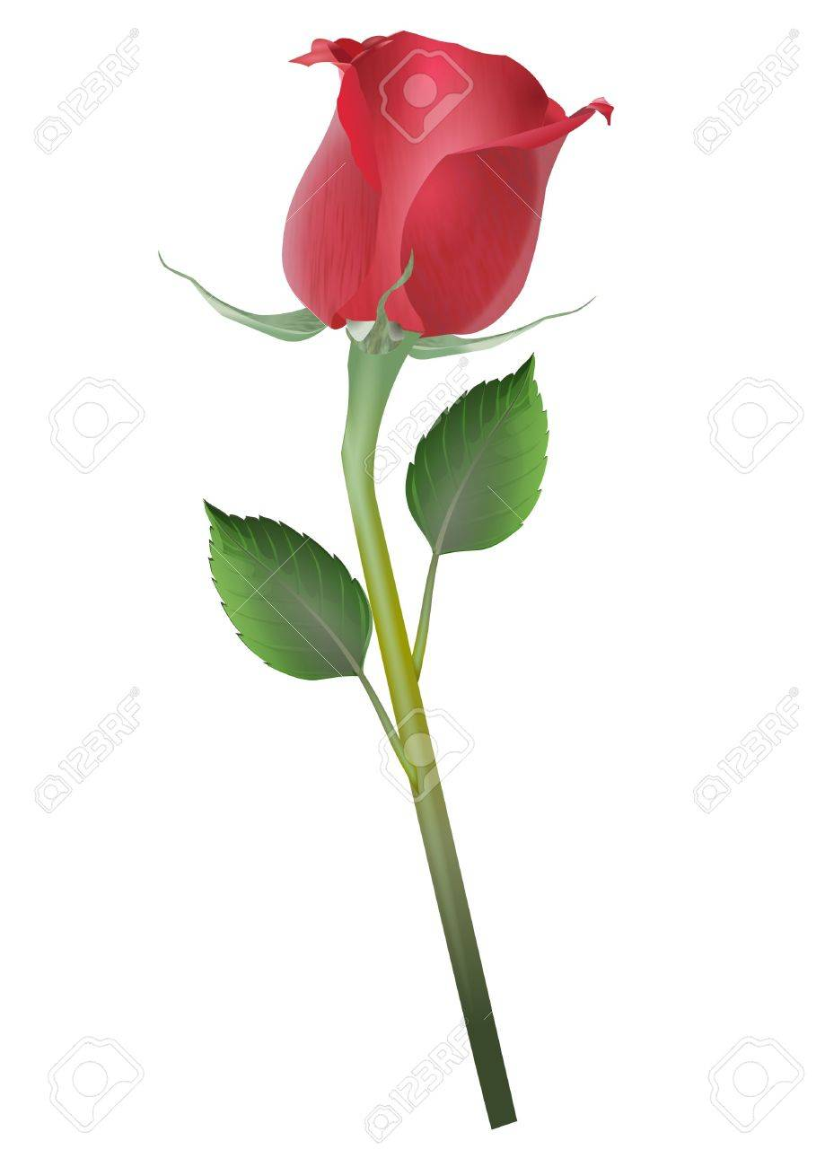 919x1300 Single Rose Drawing Stock Photo, Picture And Royalty Free Image