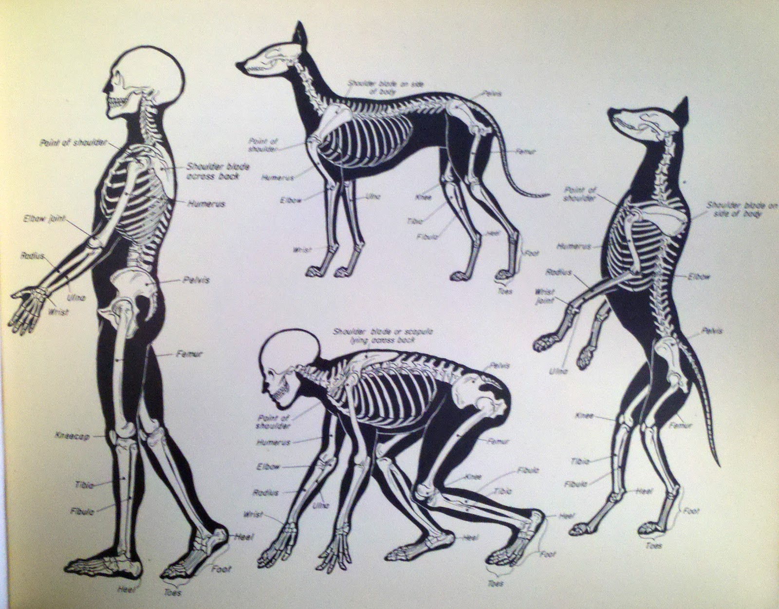 1600x1251 A History Of Skeletal Drawings Part 2