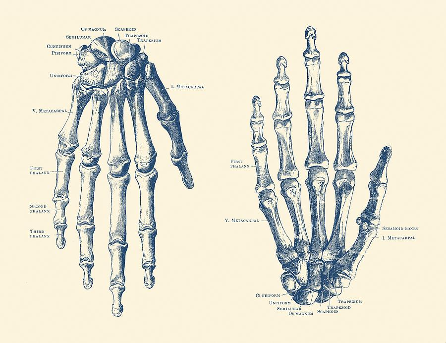 900x692 Double Hand Skeletal Diagram