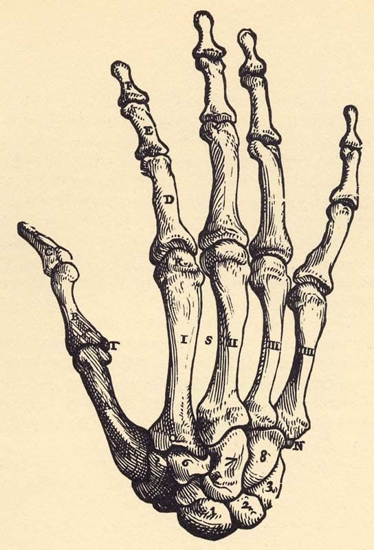 544x800 Image Result For Hand Skeleton Reference Resources