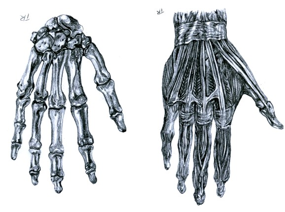 Skeletal hand drawing at getdrawings free for personal use 578x430 skeleton hand anatomy study ccuart Images