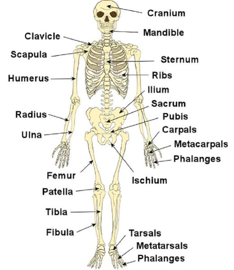 779x900 Diagrams Of The Skeletal System Diagram Site The Skeletal System