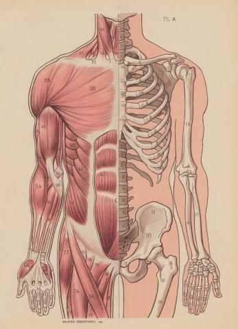 347x480 Muscular And Skeletal System Illustration @madelinemcquay This Is