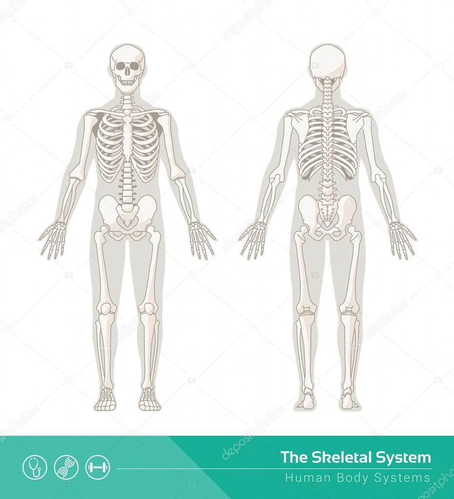 930x1023 Skeletal System Drawing Stock Photo Elenabs