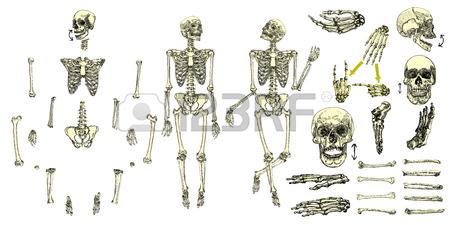 450x225 Human Bones Skeleton Standing Drawing. With Arms, Legs, Skull