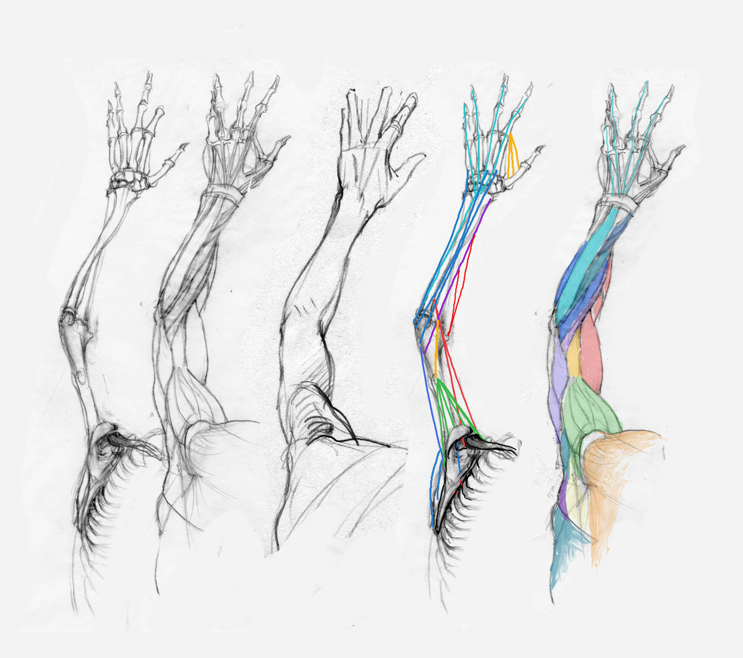 Skeleton Arm Drawing At Getdrawings Free For Personal Use