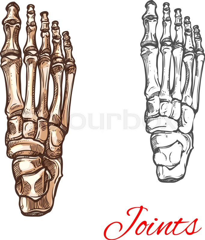 682x800 Human Foot Bones And Joints Skeleton Vector Sketch Body Anatomy