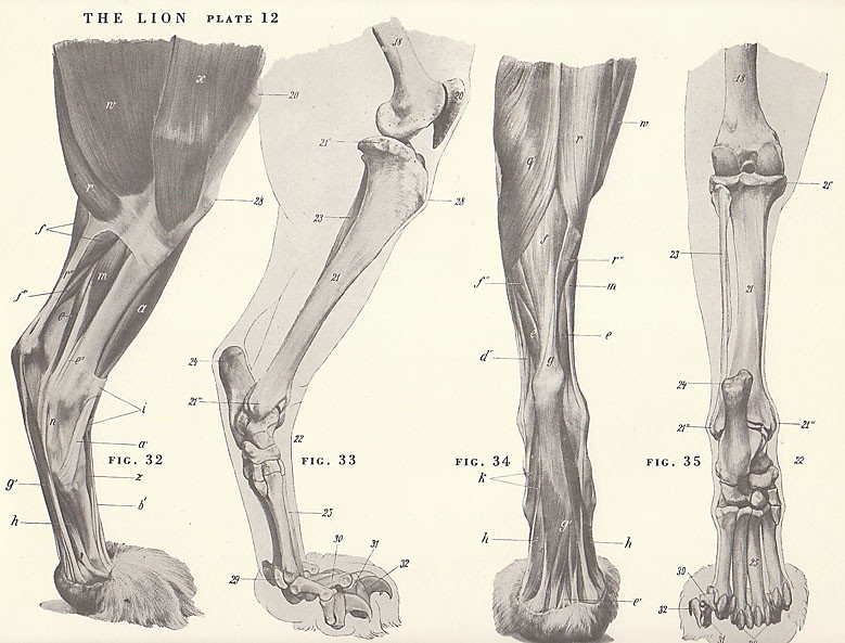 779x593 Vintage Lion Feet Paw Musculature Skeleton View By Niminsshop