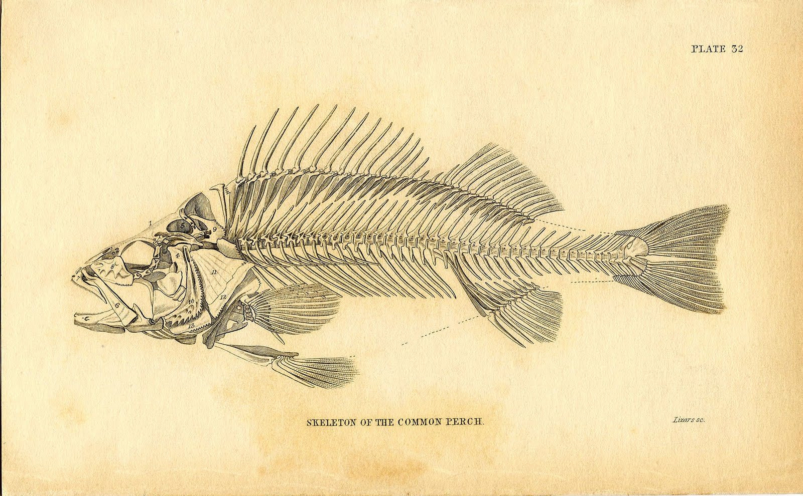 Skeleton Fish Drawing at GetDrawings.com   Free for personal use ...