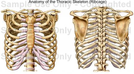 432x238 Anatomy Of The Thoracic Skeleton (Ribcage)
