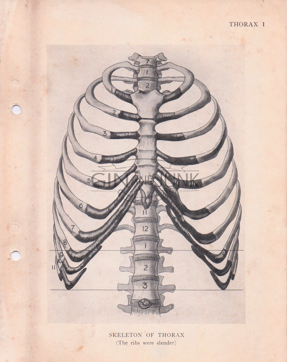 1187x1500 Vintage Medical Drawing