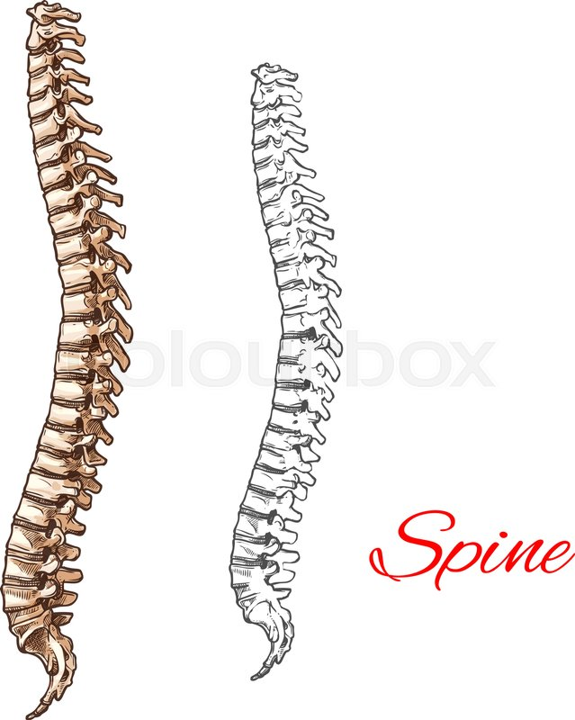 Skeleton Spine Drawing At Getdrawings Free For Personal Use