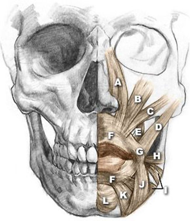 Skull Anatomy Drawing at GetDrawings.com | Free for personal use ...