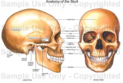 432x290 Anatomy Of The Skull
