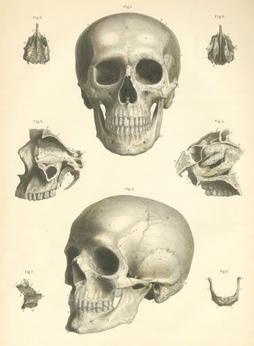 367x500 Anatomy Of The Skull. Great For Halloween Clip Art Projects