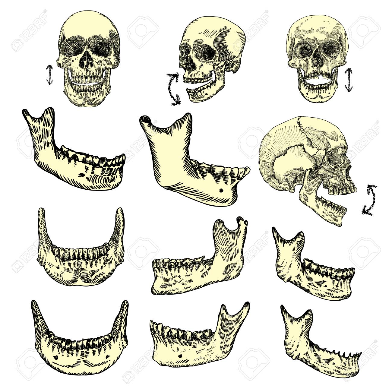 1300x1300 Human Skull Bones Drawing Set. Creation Set Skull And Lower Jaw