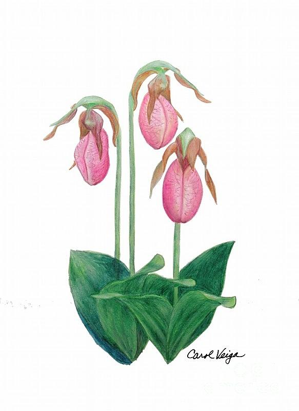 583x800 Lady Slippers Drawing By Carol Veiga