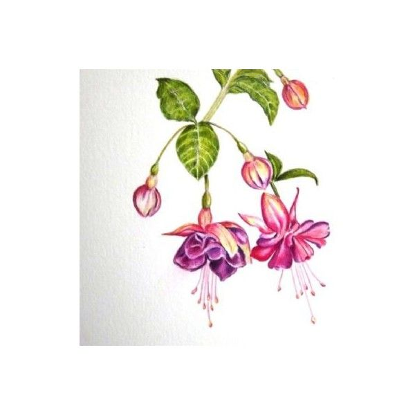 600x600 Study Of A Fuschia Drawing Liked On Polyvore Featuring Home