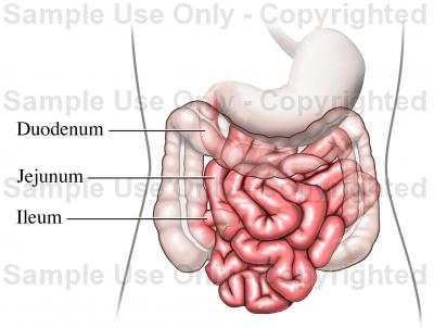 Small Intestine Drawing at GetDrawings.com | Free for personal use ...